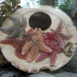 Sea star collection