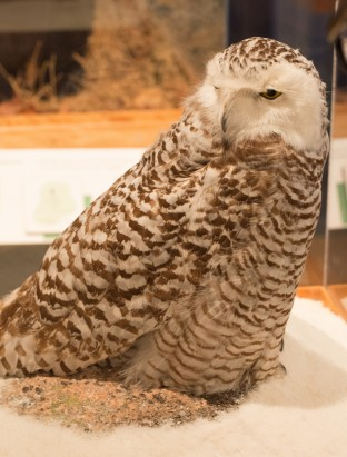 A snowy owl in one of the museum's many wildlife dioramas.
