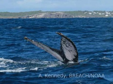 Humpback whale 4756 photographed in the French West Indies in 2012 by A. Kennedy
