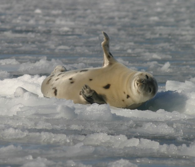 "Harp seal ""beater"" or juvenile out on an ice pan in Bar Harbor. Photo by Mindy Viechnicki."