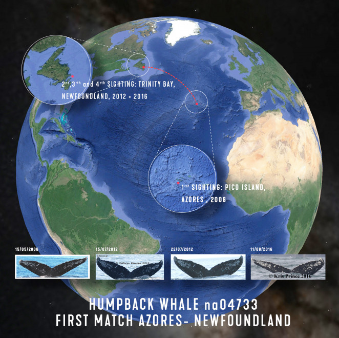 First match of a humpback whale from the Azores to Newfoundland, Canada. Illustration: Zoltan Korai