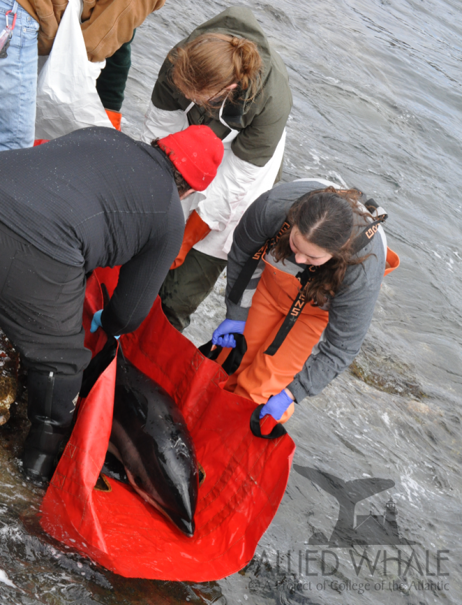 Atlantic white-sided dolphin that stranded on MDI in April 2019. Allied Whale's marine mammal stranding program team was able to rescue the dolphin and release it safely offshore.