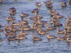 Common Eiders at Great Duck Island.