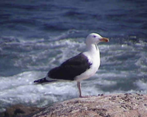 Great Black-backed gulls on Great Desert Island.