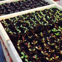 Beech Hill Farm sprouts