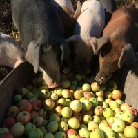 Beech Hill Farm Pigs