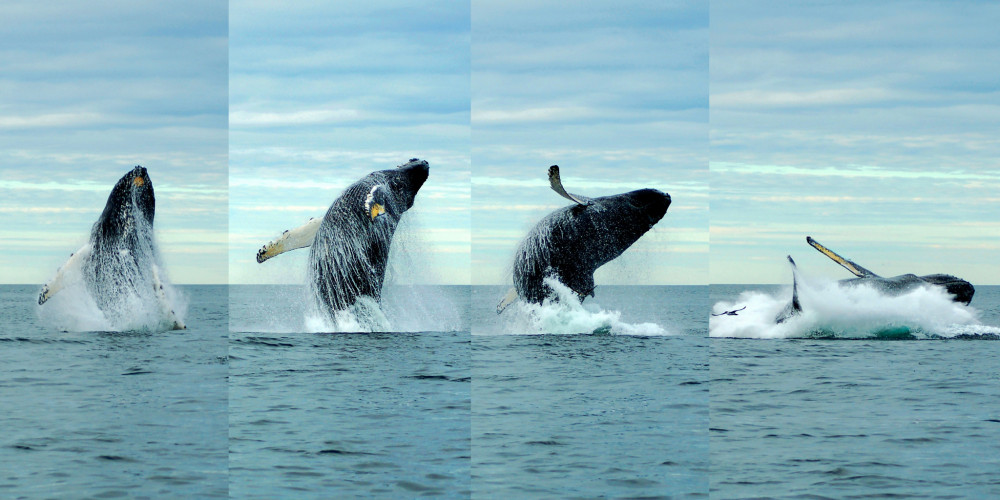 "Breach sequence of Tornado, a 28-year-old female humpback whale that summers in the Gulf of Maine. <a href=""/allied-whale/"">COA Allied Whale</a> research into humpbacks and other Gulf of Maine whales promises to shed light on climate change impacts in the Atlantic and elsewhere."