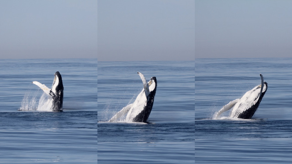 A humpback whale, one of many marine mammals familiar to students who work with COA Allied Whale ...