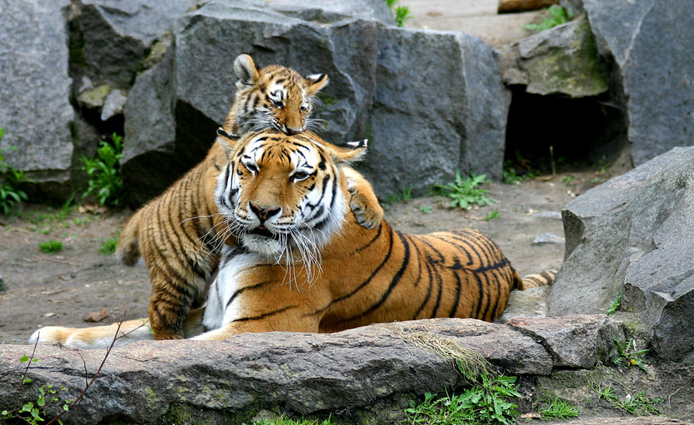 "Siberian Tigers are an endangered species spotted most often near Russia, China, and North Korea. While tracking these felines for his work with the World Wildlife Fund, <a href=""/live/profiles/1248-darron-collins"" target=""_blank"" rel=""noopener noreferrer"">COA President Darron Collins '92</a> realized that their survival depended on cultural translation between many different groups."