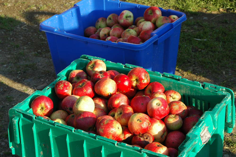 "<a href=""/live/profiles/1763-history-of-agriculture-apples"" target=""_blank"" rel=""noopener noreferrer"">Apples</a> are a common focal point for those interested in agricultural history at College of the Atlantic."