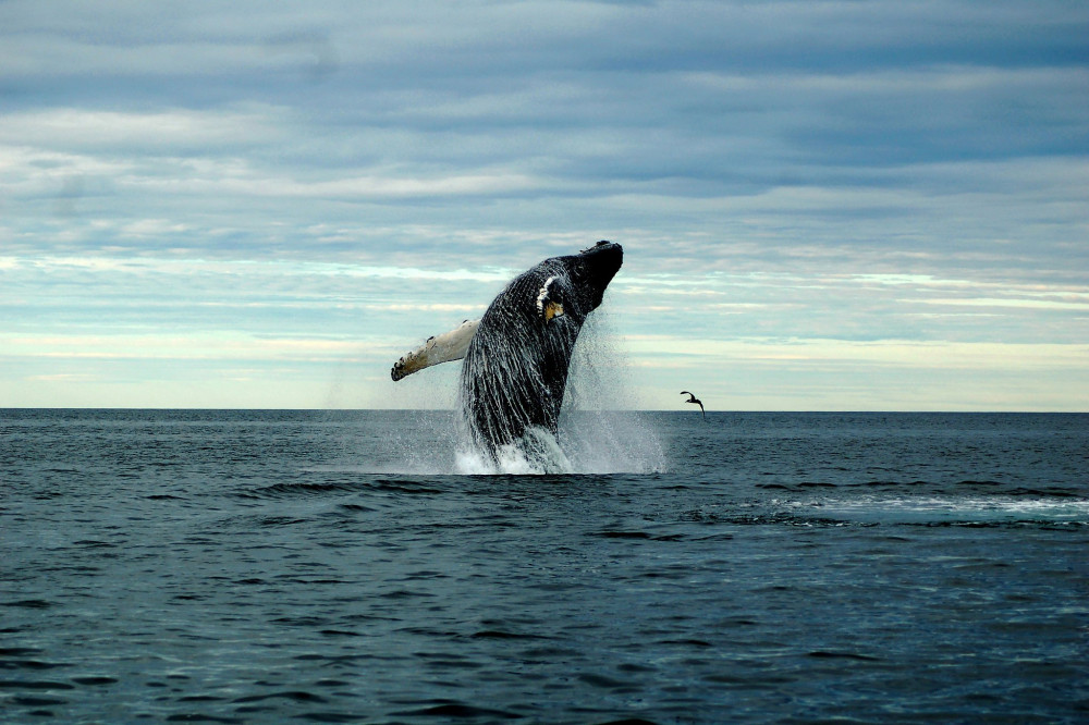 "Sightings of whale breaches have decreased at an alarming rate, due to a confluence of factors including warming waters and the fishing industry, according to members of College of the Atlantic's <a href=""/allied-whale/"">Allied Whale</a>."