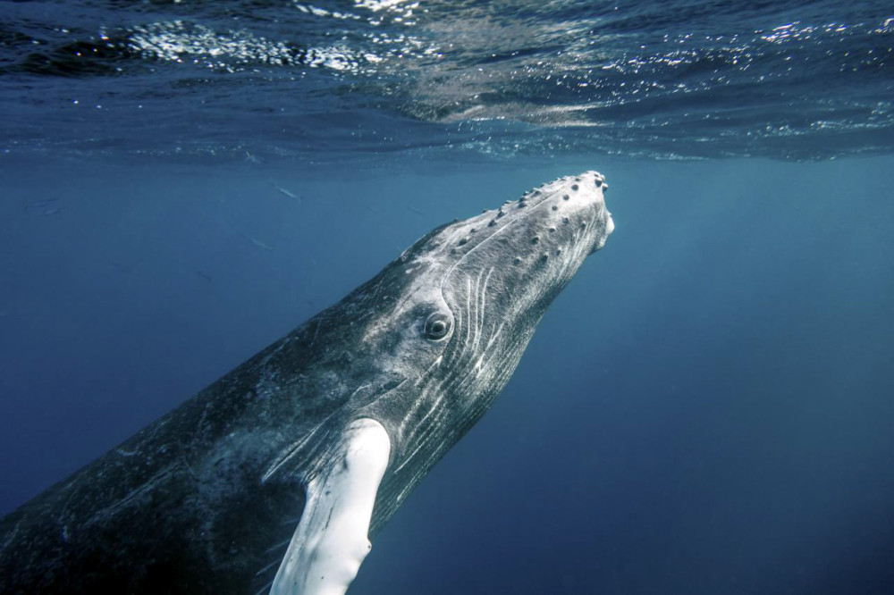 Humpback whales are some of the many creatures explored by Dr. Sean Todd in Life in the World's Oceans.
