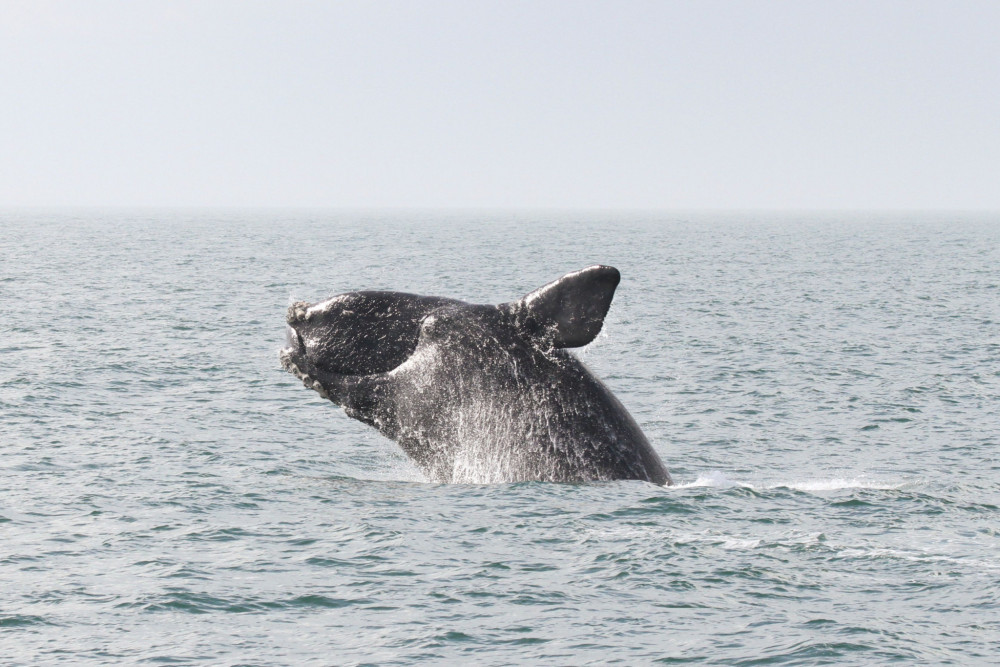 Migration patterns of endangered North Atlantic Right Whales have changed rapidly in recent years, inspiring waves of research from the oceanic academic community.