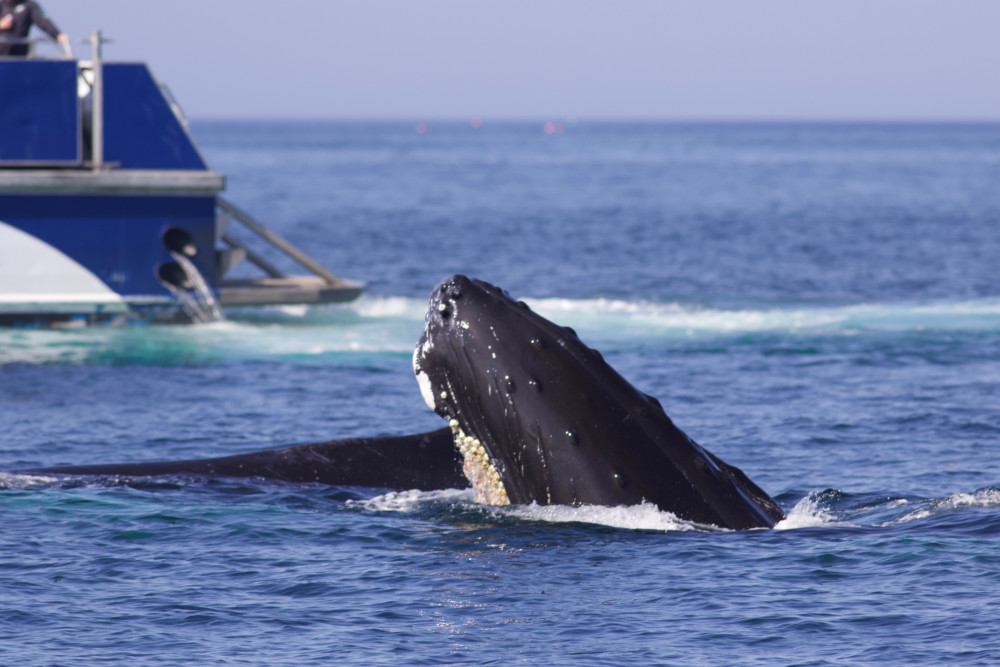 Whales in the Gulf of Maine, one of the fastest-warming bodies of water on the planet, are experi...