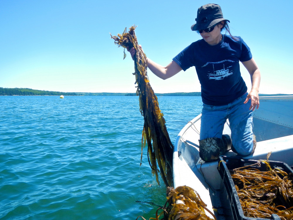 Sarah Redmond of Springtide Seaweed harvests kelp from her aquaculture farm on Maine's Frenchman ...