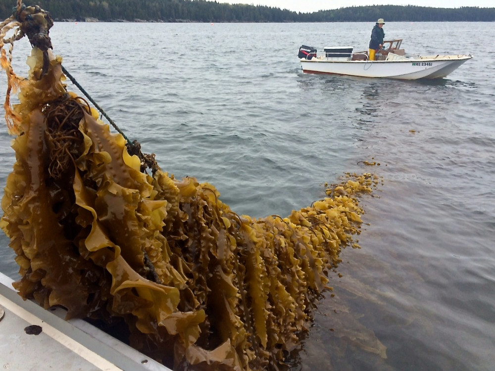 Springtide Seaweed's aquaculture lease is located in Frenchman Bay just off the College of the Atlantic waterfront. By growing seaweed on ropes submerged below the surface, ocean farmers can harvest up to 10 pounds per foot.