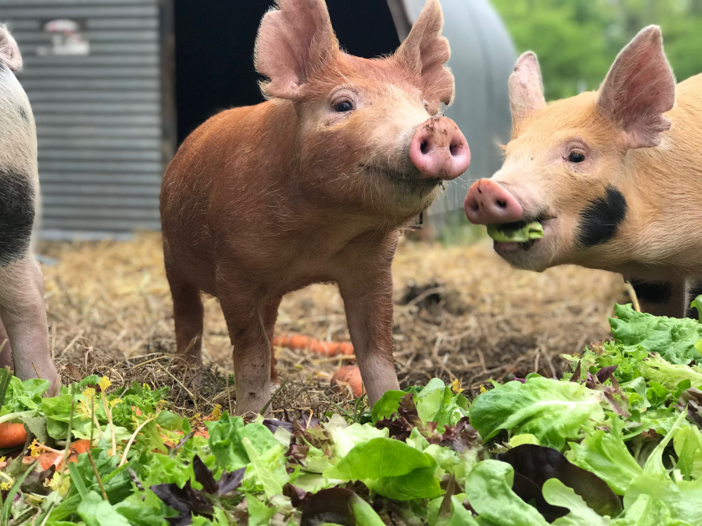 Piglets at Beech Hill Farm, one of COA's two organic farms that provide produce and meat to t...