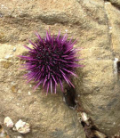 <em>Adult purple sea urchin, Strongylocentrotus purpuratus, curtsey of Chris Petersen from the rocky intertidal in southern California.</em>