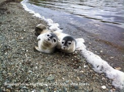 Two harbour seal pups together on a beach on Mount Desert Island.
