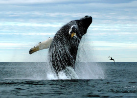 A humpback whale breaching in the Gulf of Maine.