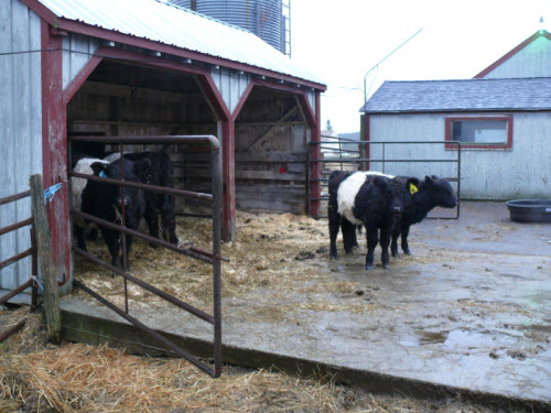The cows are still getting used to their new digs.