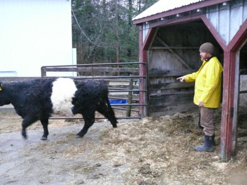 Peggy Rockefeller Farms Manager C.J. Walke tends to the herd of four Belted Galloway cows acquired Nov. 20 from Aldermere ...