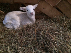 First lamb of the year on Peggy Rockefeller Farms.