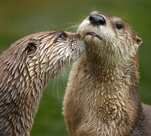 Two North American river otters.