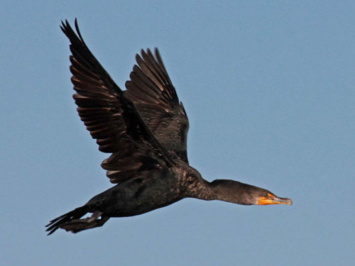 The double-crested Cormorant in flight.