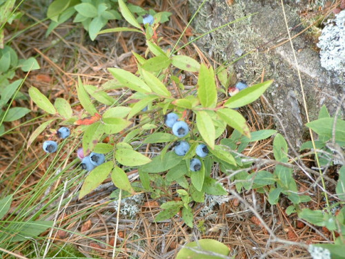 The Lowbush Blueberry is the state fruit of Maine.