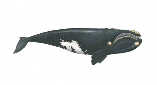 North Atlantic Right Whale. Browse more maritime art at Matt Messina Illustration.