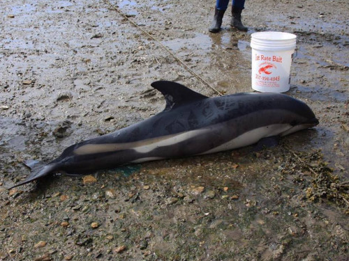 The white-sided dolphin, weighing over 200 pounds, was stranded on mud flats in a narrow cove during an early morning high tide.