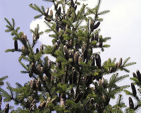 Balsam fir tree with cones.