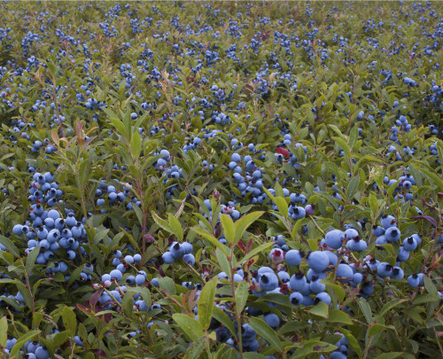 "University of Maine professor and extension blueberry specialist Dr. David Yarborough presents, ""A Sweet Story: Maine's Wild Blueberry Industry"" as part of Best of Acadia: Back to College."