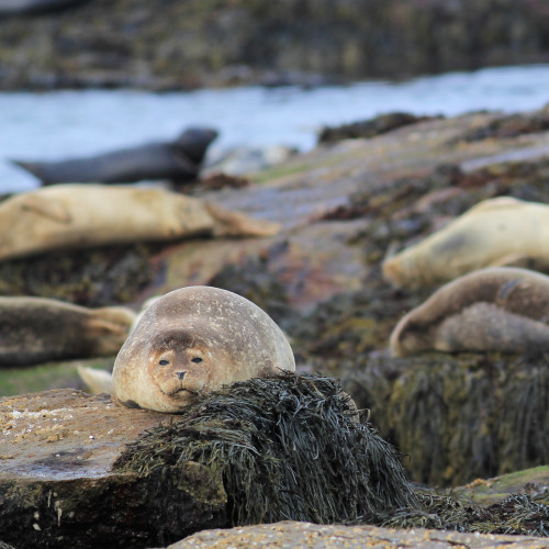Ocean seals are an integral part of the ecology of Mount Desert Rock, a remote island owned by Co...
