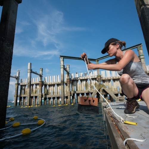 Alyssa Murad '19 puts a settlement plate into the Bay of Panama off the Smithsonian Tropical Research Institute's (STR...