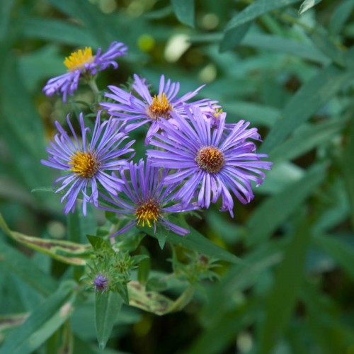New England aster (Symphyotrichum novae-angliae) is a prominent meadow plant which blooms from September through October i...