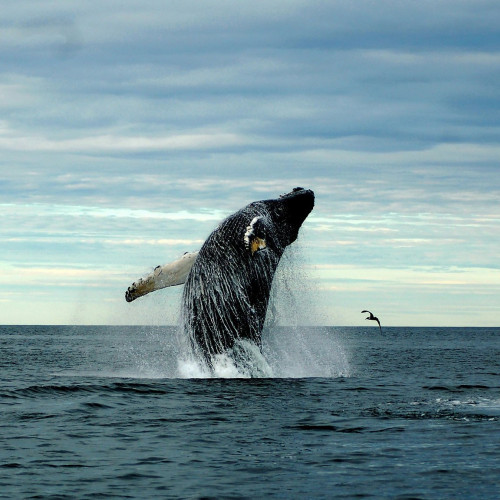 as seas warm whales face new dangers new york times - Picture Of A Whale