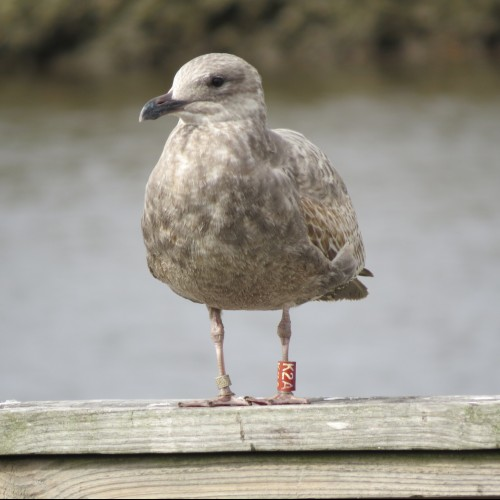 This seagull was banded by COA students on Maine's Great Duck Island during the summer of 2015 and showed up six months ...