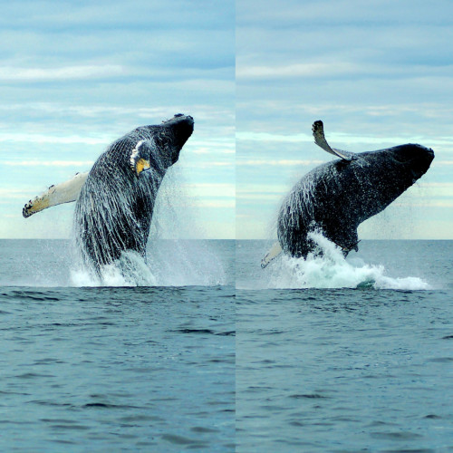 Breach sequence of Tornado, a 28-year-old female humpback whale that summers in the Gulf of Maine.