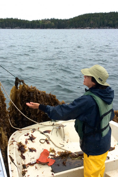 Ocean farming is a growing industry in Maine and elsewhere. Springtide Seaweed operates the largest organic seaweed farm in the U.S., just off the coast from College of the Atlantic.