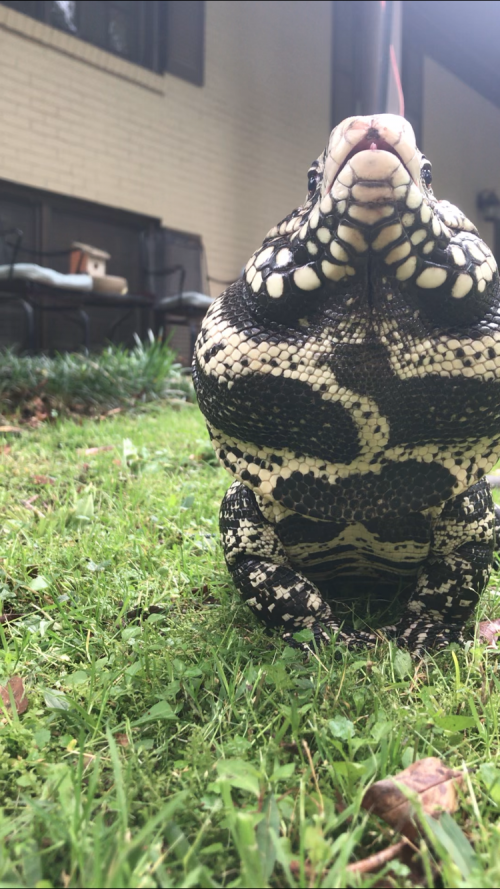 Tess Moore '23 is using bamboo to build an outdoor enclosure for Aki, her Argentinian tegu li...