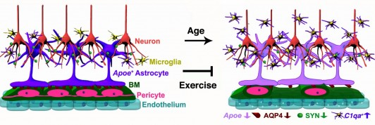 Fig 11. Schematic illustration of age-related changes in the neurovascular unit that are prevented by exercise.
