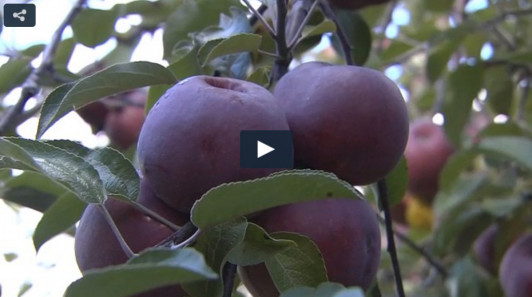 "<a href=""http://wabi.tv/2015/10/26/apple-gleaning-helps-area-food-pantries/"" target=""_blank"">Watch video.</a>"