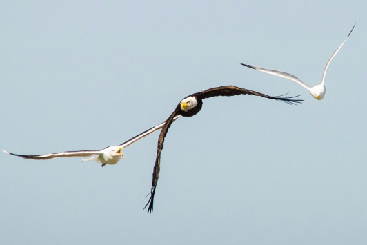 A pair of brave seagulls chase off an American bald eagle intent on raiding their nesting sanctuary.