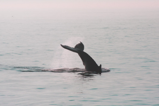 A humpback whale raises it fluke as the sun sets over the water.