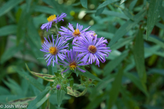 New England aster (Symphyotrichum novae-angliae) is a prominent meadow plant which blooms from September through October in Acadia National Park's Wild Gardens of Acadia.