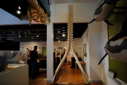 Sperm Whale Jaws prepared by Matt Messina '16 for the new exhibit.