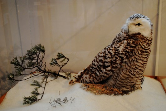 Snowy owl diorama at the Dorr Museum.