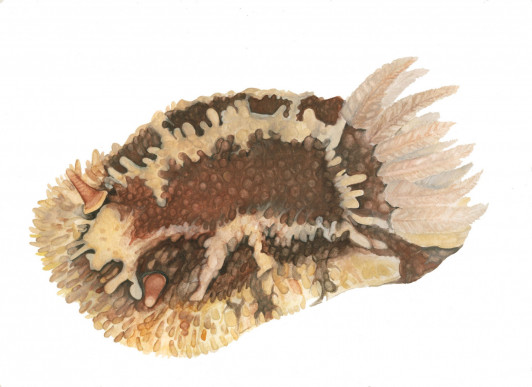 A Rough-mantled Dorid, one of Savannah Bryant's subjects for her watercolor series.